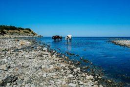 bulgarian sea cows