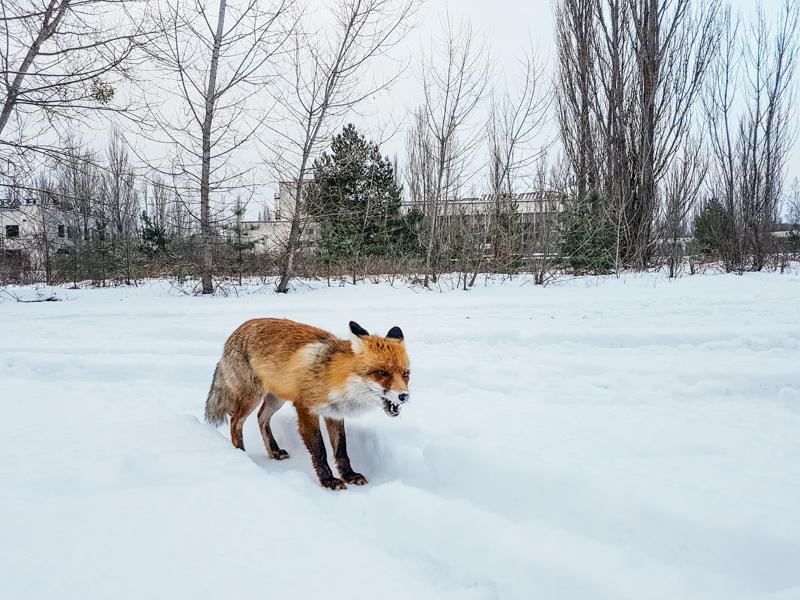 chernobyl fox wildlife
