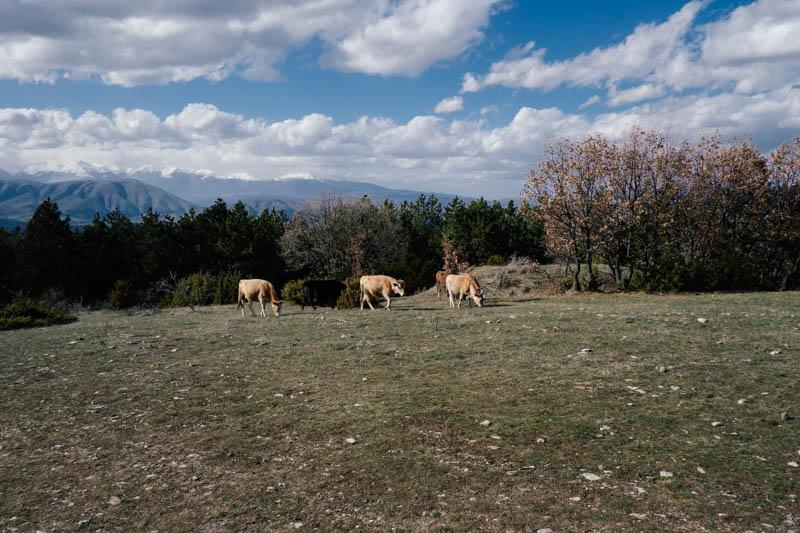 Cows on Mount Vodno, Skopje
