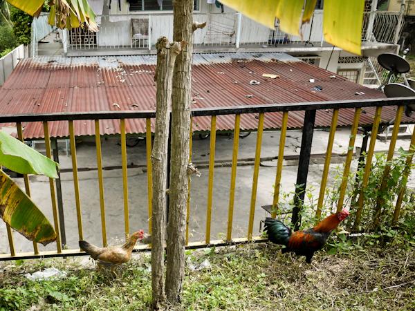 Rooster and Chicken, Kampung Baru, Kuala Lumpur
