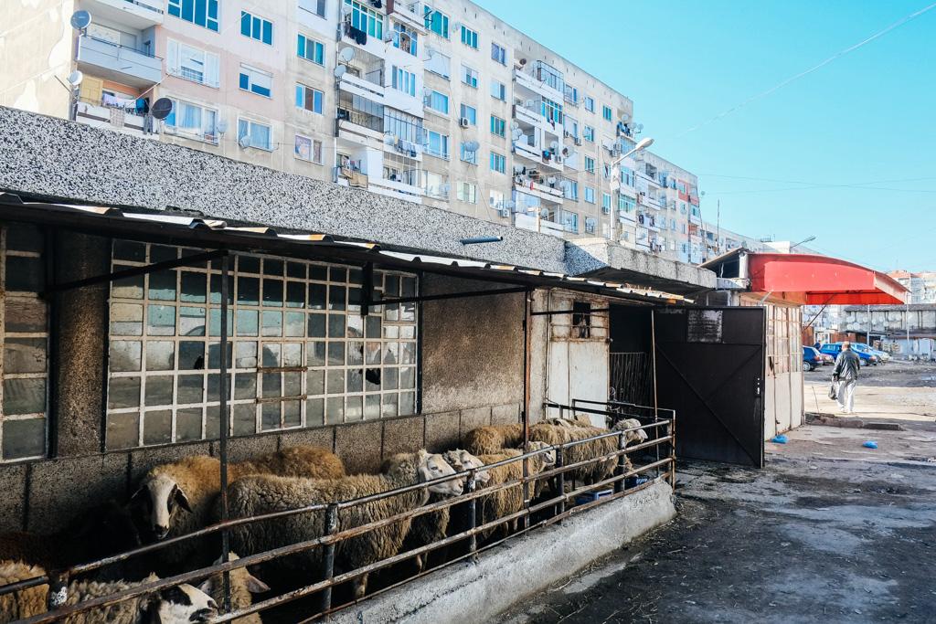 stolipinovo sheep gypsy